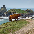 Cow At Kynance Cove by Philip Pound