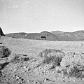 Cow At Pyramid Lake by Susan Crowell