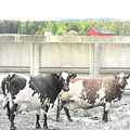 In The Future We Will Have No Cow Fence  by Hilde Widerberg