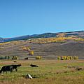 Cow Grazing In Colorado Pano by Michael Ver Sprill