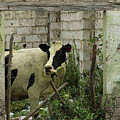 Cow In A Building by Robert Hamm