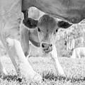 Cow Milk by Jodie Nash