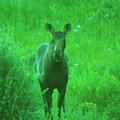 Cow Moose   by Jeff Swan