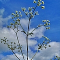 Cow Parsley Blossoms by Martine Murphy