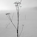 Cow Parsley Bw by Jouko Lehto