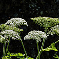 Cow Parsnip And Larkspur by Robert Potts