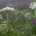 Cow Parsnip In The Mist by Robert Potts