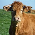 Cow Portrait by Jean Bernard Roussilhe