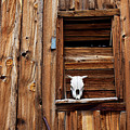 Cow Skull In Wooden Window by Garry Gay
