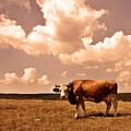 Cow by Vladimir Damjanovic