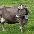 Cow With Bell by Aivar Mikko