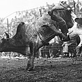 Cowboy Departing A Bull by Underwood Archives