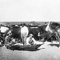 Cowboys Branding Cattle C. 1900 by Daniel Hagerman