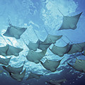 Cownose Rays by Dave Fleetham - Printscapes