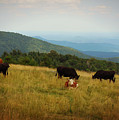 Cows At Doughton Park by Valerie Reeves
