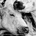Cows Behind Barbed Wire by Nick Biemans