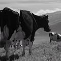 Cows by Gaspar Avila