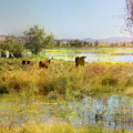 Cows In The Desert by Karen W Meyer