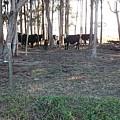 Cows In The Woods by Daniel Diaz