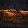 Cows by Laszlo Gyorsok