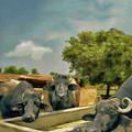 Cows by Shahzad Hamid