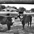 Cows  by Wanda-Lynn Searles