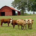 Cows8954 by Gary Gingrich Galleries