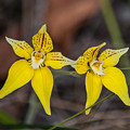 Cowslip Orchid Australia by NaturesPix