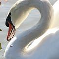 Coy Swan by Carol Groenen