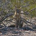 Coyote 3 by Carl Moore