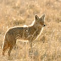 Coyote At Dawn by Dennis Hammer
