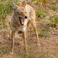 Coyote Caught In A Yawn by Max Allen