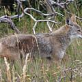 Coyote by Doris Potter