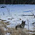 Coyote Food Hunting by Judithann O'Toole