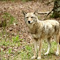 Coyote In Cades Cove by Charlene Cox