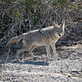Coyote In Death Valley by Michael Bessler