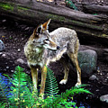 Coyote In Mid Stream by David Lee Thompson