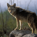 Coyote In Ocotillo Trees by Sandra Bronstein