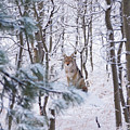 Coyote In The Aspens by Brad Scott
