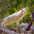 Coyote In The Rocky Mountain National Park by James O Thompson