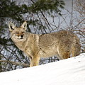 Coyote In Winter by DeeLon Merritt