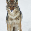 Coyote Looking At Me by Stanza Widen
