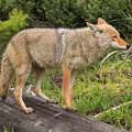 Coyote On A Log Closeup by Adam Jewell