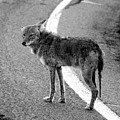 Coyote On The Road by David Lee Thompson