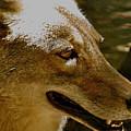 Coyote Profile by Debra     Vatalaro