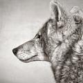 Coyote Profile by Elaine Malott