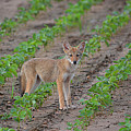 Coyote Pup by Deanna Cagle