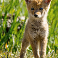 Coyote Pup by Terry Hawthorne