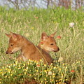 Coyote Pups by Gale Cochran-Smith
