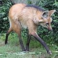 Coyote by Rebecca Pavelka